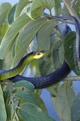 common-tree-snake;green-tree-snake;snake-on-tree-branch;golden-tree-snake;tree-snake;australian-snakes;daintree-river;far-north-queensland;small-snake