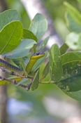 Common or Green Tree Snake