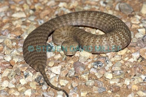 death adder;pilbara death adder;venemous snake;dangerous snake;poisonous snake;australian snakes;australian reptiles;cape range national park;queensland national park;australian national park;acanthophis wellsi