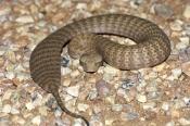 death-adder;pilbara-death-adder;venemous-snake;dangerous-snake;poisonous-snake;australian-snakes;australian-reptiles;cape-range-national-park;queensland-national-park;australian-national-park;acanthophis-wellsi