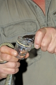snake-being-milked;milking-snake;venomous-snake-being-milked;tiger-snake-being-milked;tiger-snake;eastern-tiger-snake;notechis-scutatus;the-australian-reptile-park