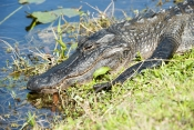 american-alligator-picture;american-alligator;alligator;gator;alligator-mississippiensis;alligator-sunning;alligator-beside-water;florida-alligator;florida-gator;shark-valley;everglades-national-park;florida-national-park;southwest-florida