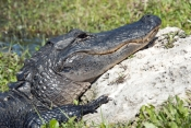 american-alligator-picture;american-alligator;alligator;gator;alligator-mississippiensis;alligator-sunning;florida-alligator;florida-gator;shark-valley;everglades-national-park;florida-national-park;southwest-florida