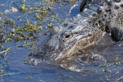 american-alligator-picture;american-alligator;alligator;gator;alligator-mississippiensis;alligator-swimming;alligator-in-water;florida-alligator;florida-gator;royal-palm;everglades-national-park;florida-national-park;southwest-florida