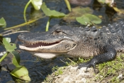 american-alligator-picture;american-alligator;alligator;gator;alligator-mississippiensis;alligator-on-mud-bank;alligator-on-land;florida-alligator;florida-gator;alligator-on-land;alligator-sunning;royal-palm;everglades-national-park;florida-national-park;southwest-florida