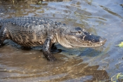 american-alligator-picture;american-alligator;alligator;gator;alligator-mississippiensis;alligator-on-mud-bank;alligator-on-land;florida-alligator;florida-gator;alligator-moving;alligator-walking;royal-palm;everglades-national-park;florida-national-park;southwest-florida