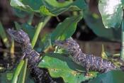 american-alligator;alligator-mississippiensis;baby-american-alligator;alligator-baby;alligator-babies;baby-animal;baby-reptile;american-reptile;corkscrew-swamp-sanctuary;southwest-florida