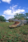 american-alligator-picture;american-alligator;alligator;gator;alligator-mississippiensis;alligator-sunning;alligator-head-florida-alligator;florida-gator;everglades-national-park