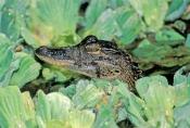 american-alligator;alligator-mississippiensis;baby-american-alligator;alligator-baby;alligator-babies;baby-animal;baby-reptile;american-reptile;corkscrew-swamp-sanctuary;southwest-florida;lettuce-lake;cypress-swamp