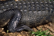 ALLIGATOR-MISSISSIPPIENSIS;ALLIGATORS;CROCODILIANS;LEGS;LIMBS;REPTILES;USA;VERTEBRATES