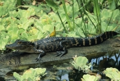 ALLIGATORS;CROCODILIANS;JUVENILE;PLANTS;REPTILES;SWAMPS;USA;VERTEBRATES;WATER;WETLANDS
