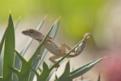 cuban-brown-anole-picture;cuban-brown-anole;cuban-anole;brown-anole;anolis-sagrei-sagrei;florida-anole;introduced-species;west-indies-anole;island-anole;anole;lizard;reptile;small-lizard;naples-botanical-gardens;southwest-florida;florida;steven-david-miller