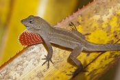 cuban-brown-anole-picture;cuban-brown-anole;cuban-anole;brown-anole;anolis-sagrei-sagrei;florida-anole;introduced-species;west-indies-anole;island-anole;anole;dewlap;throat-fan;territorial-display;mating-display;lizard;reptile;small-lizard;naples-botanical-gardens;southwest-florida;florida;steven-david-miller