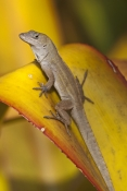 Cuban Brown Anole