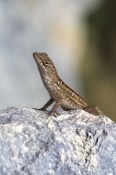 ANOLIS-SAGREI;IGUANAS;LIZARDS;PORTRAITS;REPTILES;ROCKS;USA;VERTEBRATES;VERTICAL;north-america
