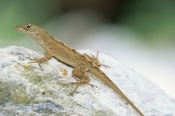 ANOLIS-SAGREI;BEHAVIOUR;IGUANAS;LIZARDS;REPTILES;THERMOREGULATION;USA;VERTEBRATES;introduction