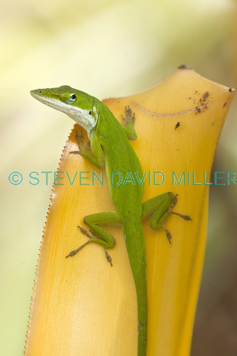 green anole picture;green anole;anolis carolinensis;american anole;green lizard;native american anole;florida reptile;florida lizard;green reptile;small lizard;small reptile;eye contact;observant;naples botanical gardens;southwest florida;florida;american reptile;steven david miller