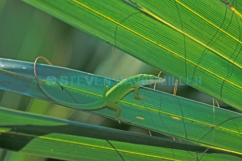 green anole picture;green anole;anolis carolinensis;american anole;green lizard;native american anole;florida reptile;florida lizard;green reptile;small lizard;small reptile;eye contact;observant;naples botanical gardens;southwest florida;florida;american reptile