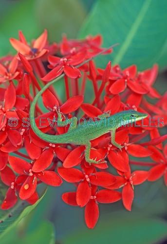 green anole picture;green anole;anolis carolinensis;american anole;green lizard;native american anole;florida reptile;florida lizard;green reptile;small lizard;small reptile;eye contact;observant;southwest florida;florida;american reptile