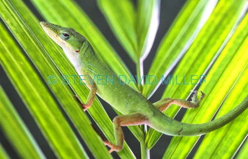 green anole picture;green anole;anole;anolis carolinensis;green lizard;florida lizard;southwest florida lizard;southwest florida reptile;lizard looking at camera;green;naples;florida;southwest florida;steven david miller