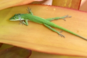 green-anole-picture;green-anole;anolis-carolinensis;american-anole;green-lizard;native-american-anole;florida-reptile;florida-lizard;green-reptile;small-lizard;small-reptile;eye-contact;observant;naples-botanical-gardens;southwest-florida;florida;american-reptile;steven-david-miller
