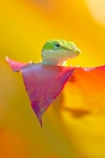green-anole-picture;green-anole;anolis-carolinensis;american-anole;green-lizard;native-american-anole;florida-reptile;florida-lizard;green-reptile;small-lizard;small-reptile;anole-eye;lizard-eye;reptile-eye;eye;green-eye;naples-botanical-gardens;southwest-florida;florida;american-reptile;steven-david-miller