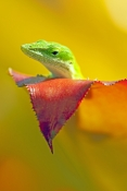 green-anole-picture;green-anole;anolis-carolinensis;american-anole;green-lizard;native-american-anole;florida-reptile;florida-lizard;green-reptile;small-lizard;small-reptile;lizard-eye;reptile-eye;anole-eye;green-eye;naples-botanical-gardens;southwest-florida;florida;american-reptile;steven-david-miller