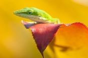 green-anole-picture;green-anole;anolis-carolinensis;american-anole;green-lizard;native-american-anole;florida-reptile;florida-lizard;green-reptile;small-lizard;small-reptile;green-eye;anole-eye;reptile-eye;lizard-eye;naples-botanical-gardens;southwest-florida;florida;american-reptile;steven-david-miller