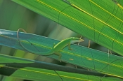 green-anole-picture;green-anole;anolis-carolinensis;american-anole;green-lizard;native-american-anole;florida-reptile;florida-lizard;green-reptile;small-lizard;small-reptile;eye-contact;observant;naples-botanical-gardens;southwest-florida;florida;american-reptile