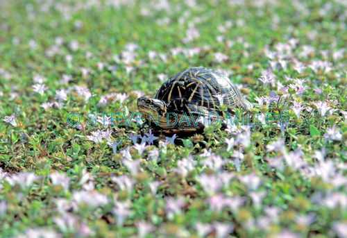 eastern box turtle picture;eastern box turtle;box turtle;turtle;florida turtle;tortoise in the grass