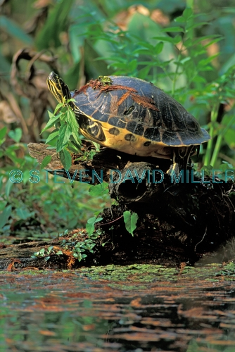 florida red-bellied turtle picture;florida red bellied turtle picture;florida red-bellied turtle;florida red bellied turtle;florida turtle;pseudemys nelsoni;turtle head;turtle feet;webbed feet;turtle in swamp;corkscrew swamp sanctuary;southwest florida;turtles of florida;swamp turtles;freshwater turtles;steven david miller