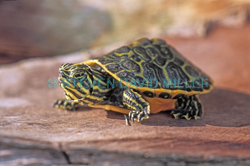 florida red bellied turtle picture;florida red bellied turtle;turtle hatchling;baby turtle;florida turtle