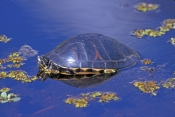 florida-red-bellied-turtle-picture;florida-red-bellied-turtle-picture;florida-red-bellied-turtle;florida-red-bellied-turtle;florida-turtle;pseudemys-nelsoni;turtle-head;turtle-swimming;turtle-in-swamp;corkscrew-swamp-sanctuary;southwest-florida;turtles-of-florida;swamp-turtles;freshwater-turtles