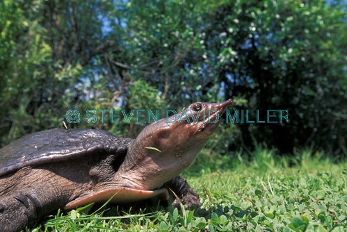 softshell turtle picture;softshell turtle;turtle florida turtle;soft shell turtle;everglades national park;royal palm