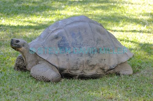 galapagos giant tortoise;galapagos tortoise;tortoise;Testudo elephantopus;the australia zoo