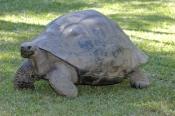 galapagos-giant-tortoise;galapagos-tortoise;tortoise;Testudo-elephantopus;the-australia-zoo