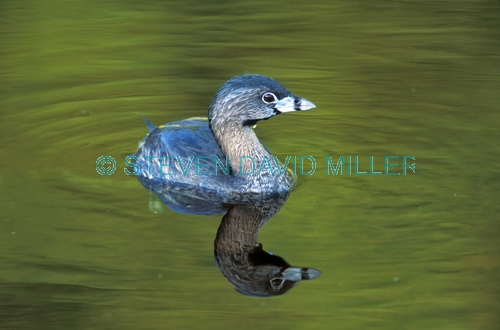 grebe picture;grebe;pied-billed grebe;pied billed grebe;american grebe;eco pond;everglades national park;reflection