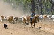Stockmen & Mustering Stock Animals (Cattle Mustering, Sheep Herding)