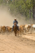 stockman;stockman-on-horse;cattle-muster;working-cattle-dogs;cattle-muster-on-horseback;cattle-station;brahman-cattle;brahman-muster