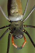 Family Nephila: Orb-weaver Spiders