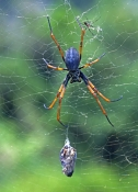 golden-orb-weaving-spider-picture;golden-orb-weaving-spider;golden-orb-weaving-spider;nephila-imperialis;female-golden-orb-weaving-spider;lord-howe-island-golden-orb-weaving-spider;lord-howe-island-spider;spider-in-web;spider-with-wrapped-up-food-or-prey;lord-howe-island;australian-spider;spider;steven-david-miller;natural-wanders