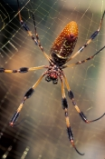 golden-silk-spider;nephila-clavipes;gold-spider;silk-spider;spider;large-spider;spider-with-furry-legs;spider-underside;spider-spinnerets;north-american-spider;north-american-arachnid;steven-david-miller