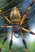 golden-silk-spider-picture;golden-silk-spider-picture;calico-spider-picture;nephila-clavipes;female-spider;spider-in-web;spider-close-up-picture;vertical-spider-picture;spider-legs;florida-spider;american-spider;detailed-spider;steven-david-miller