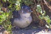 little-penguin-picture;little-penguin;fairy-penguin;smallest-penguin-species;eudyptula-minor;australia-penguin;little-penguin-standing;penguin-island;rockingham;western-australia;species-of-least-concern;steven-david-miller;natural-wanders