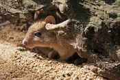 tropical-bettong-picture;northern-bettong-picture;tropical-bettong;northern-bettong;bettongia-tropica;bettong;small-marsupial;australian-marsupial;shy-animal;wildlife-habitat;northern-queensland-marsupial;tropical-marsupial;endangered-species;north-queensland