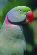 Indian Ring-necked Parakeet