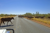 cattle-on-the-road;wandering-cattle;wandering-stock;animals-crossing-the-road;cattle-crossing-the-road;stuart-highway