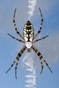 Yellow Garden Orb-weaver