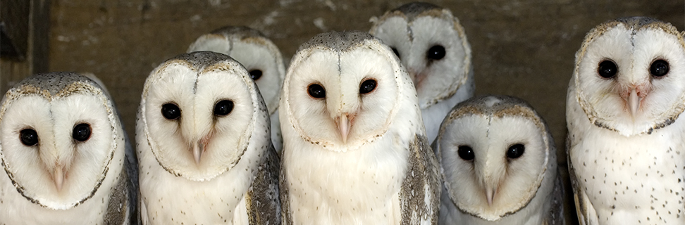 A Parliament of Barn Owls