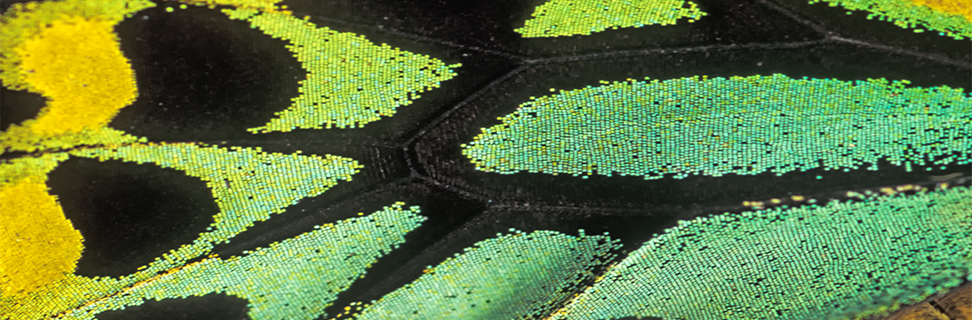 Cairns Birdwing Butterfly Wing